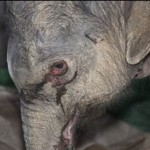 The Weeping Baby Elephant and The Silent Scream (video)